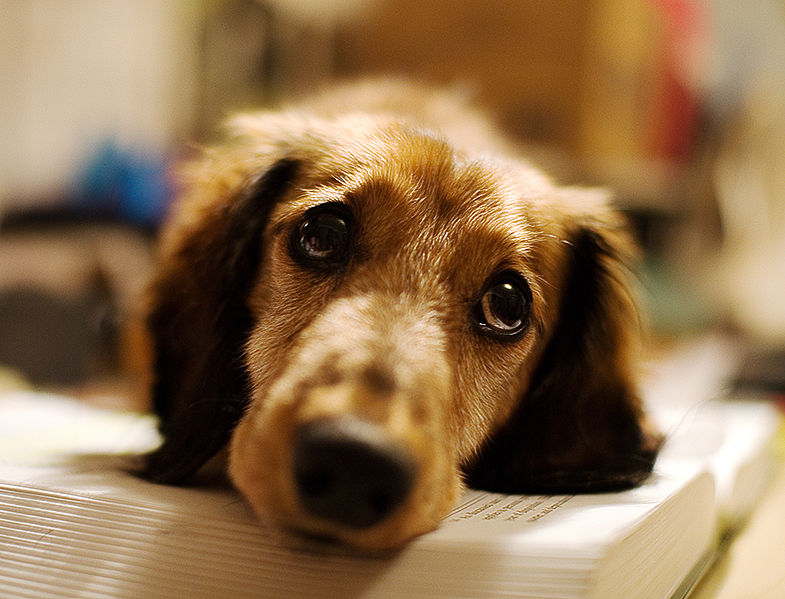 Dachshund Personality and Temperament