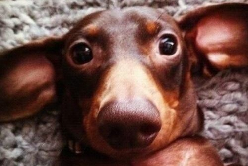Eleven of the Best Dachshund Memes Ever!