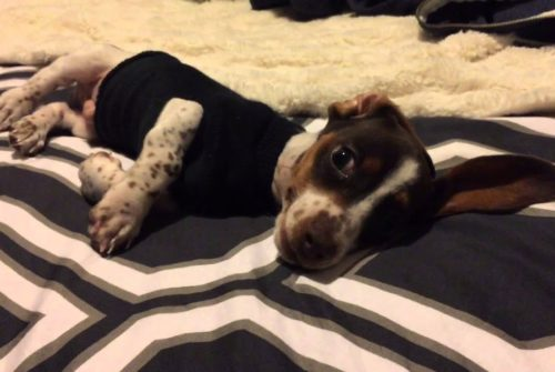 Dachshund Puppy Complains About Sock Sweater