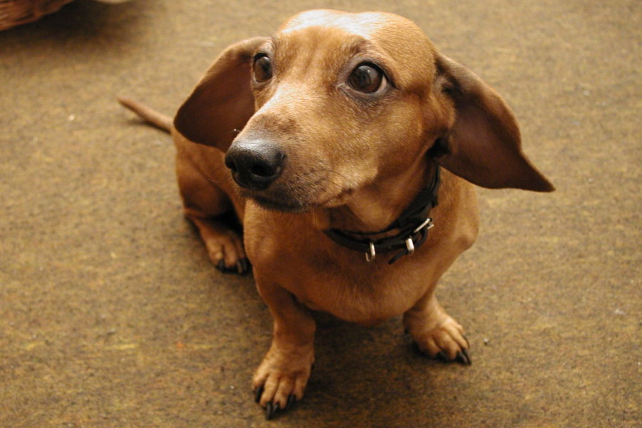 Can You Leave A Dachshund Alone?